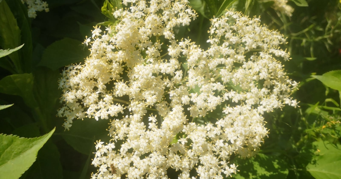 Holunder Blüte 2